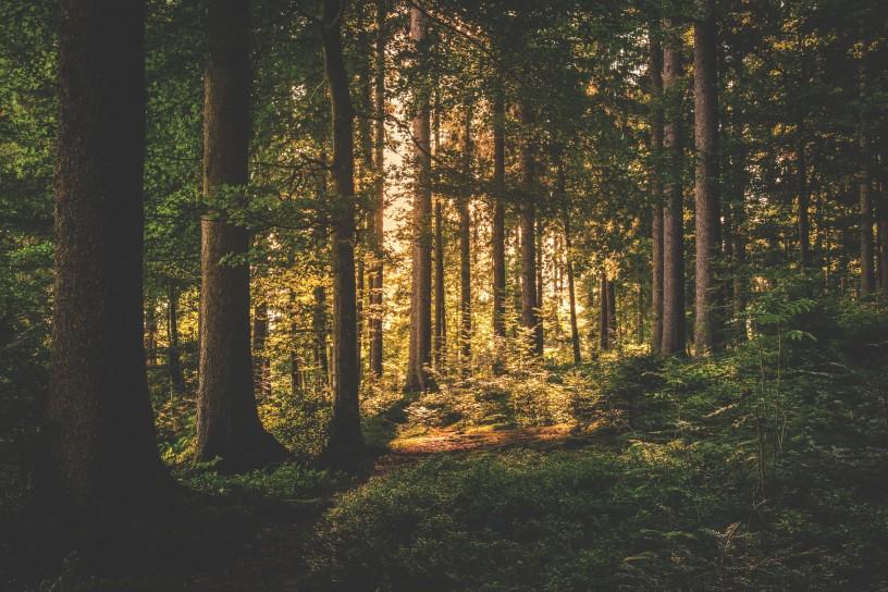 šuma drvo